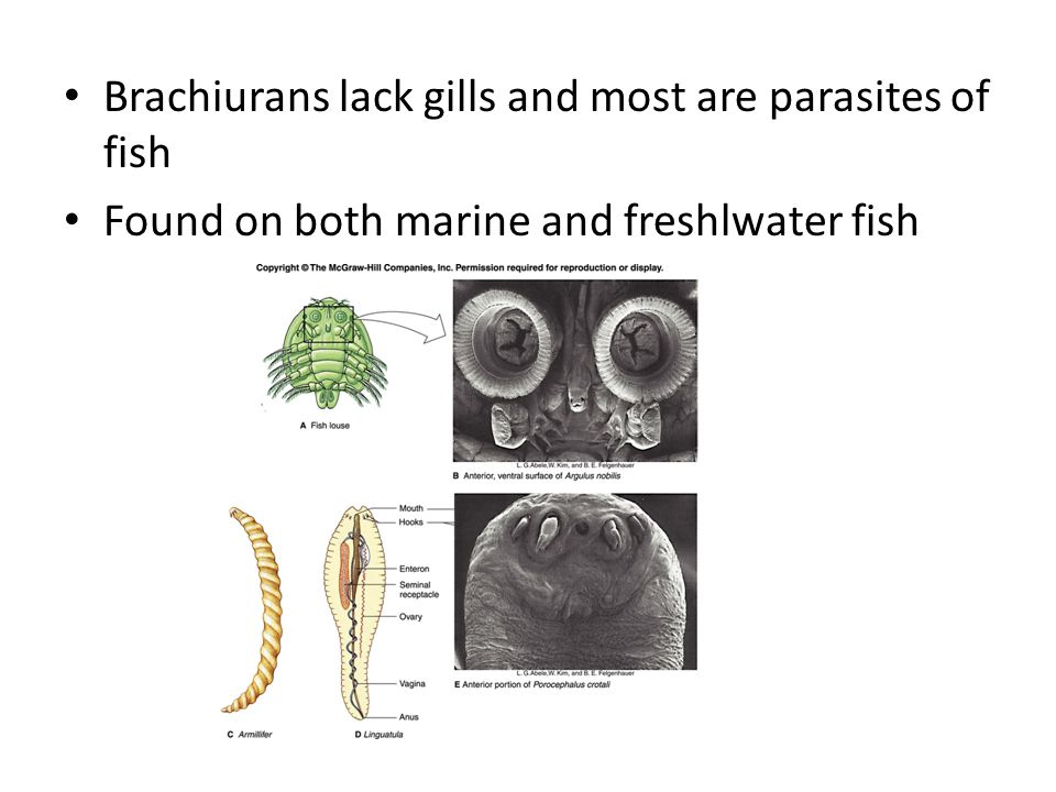 Brachiurans lack gills and most are parasites of fish Found on both marine and freshlwater fish