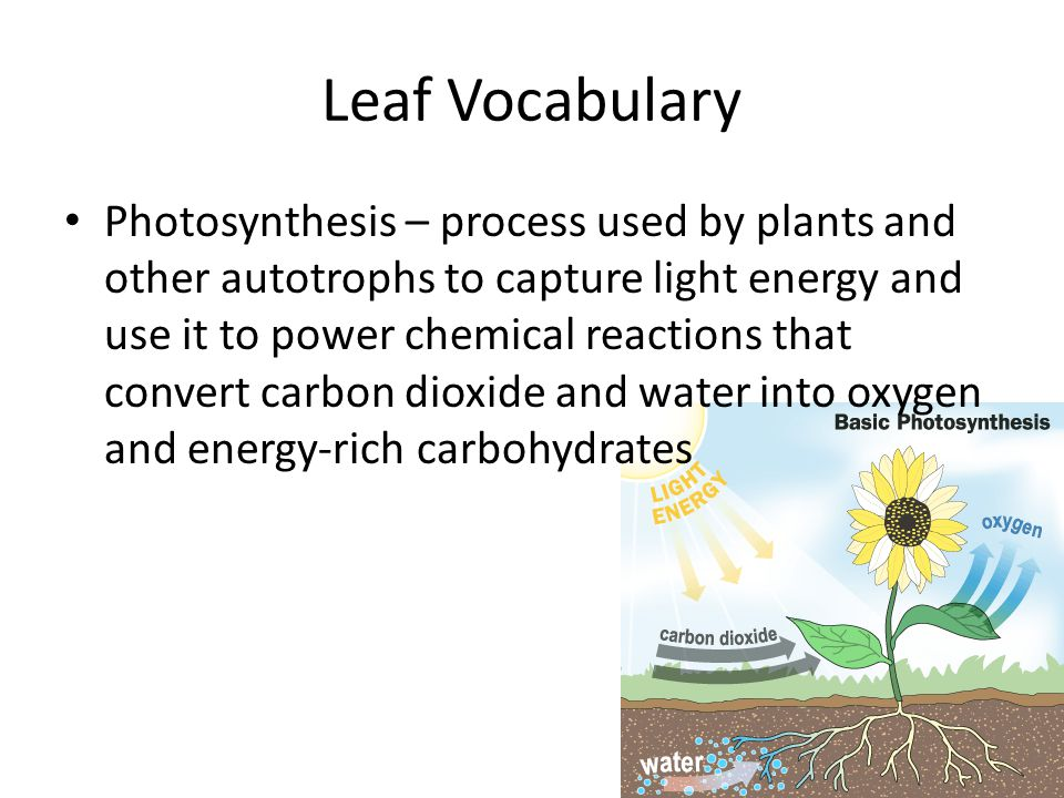 Leaf Vocabulary Photosynthesis – process used by plants and other autotrophs to capture light energy and use it to power chemical reactions that conve