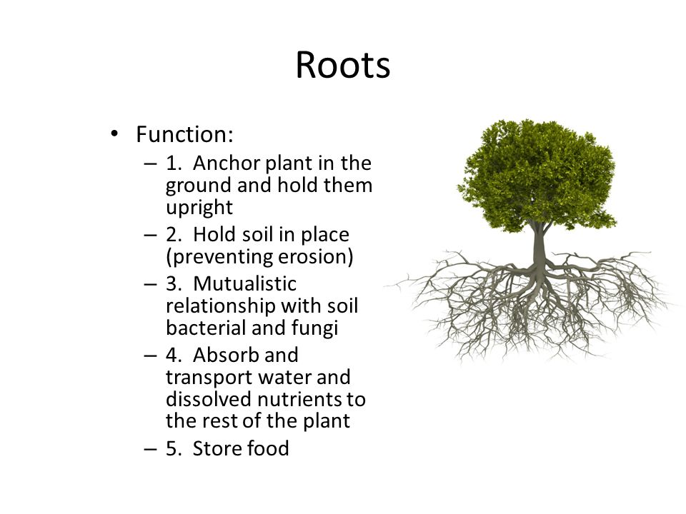 Roots Function: – 1. Anchor plant in the ground and hold them upright – 2. Hold soil in place (preventing erosion) – 3. Mutualistic relationship with