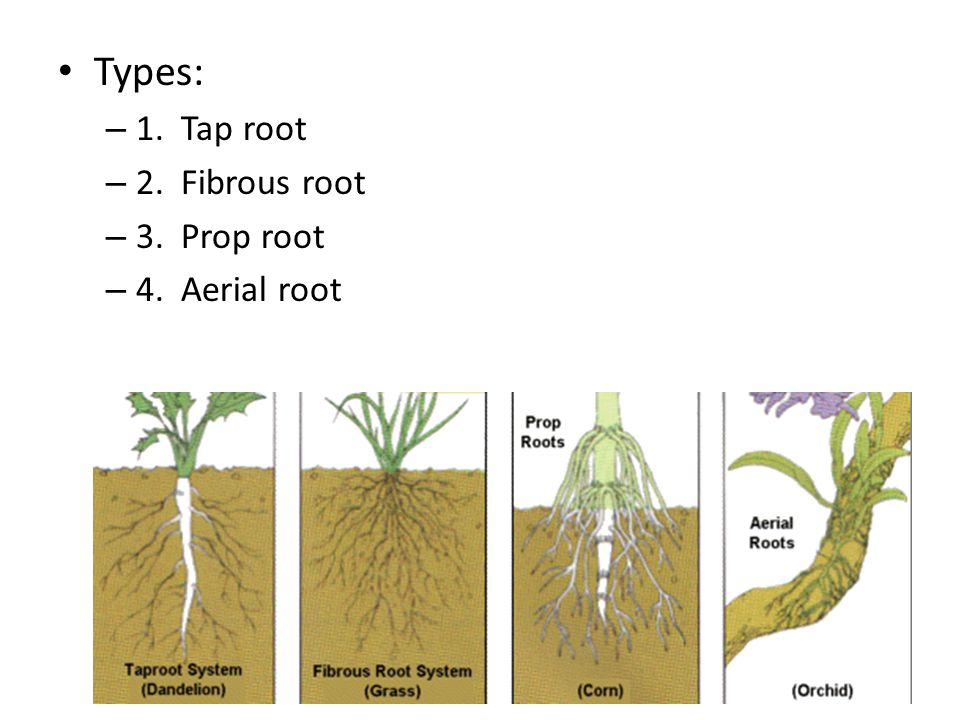 Types: – 1. Tap root – 2. Fibrous root – 3. Prop root – 4. Aerial root