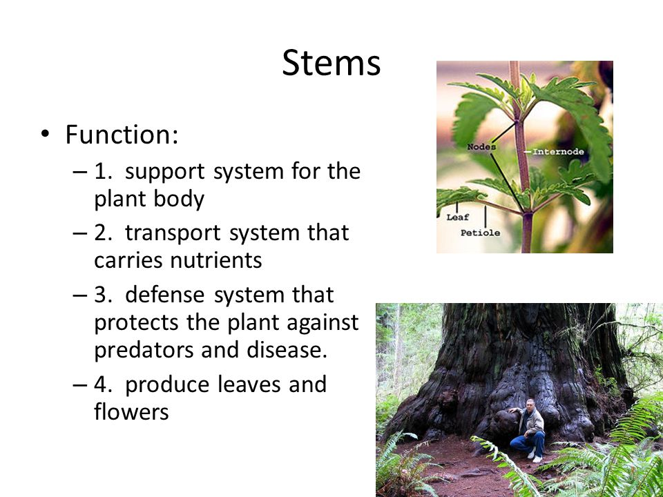Stems Function: – 1. support system for the plant body – 2. transport system that carries nutrients – 3. defense system that protects the plant agains