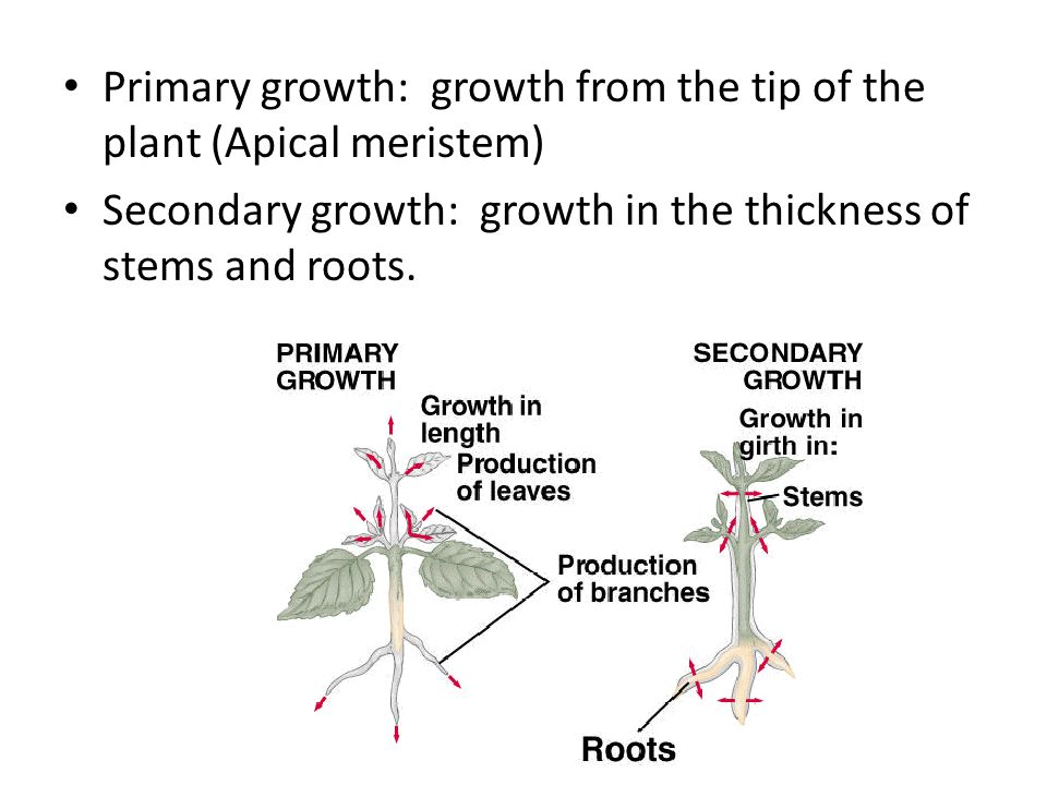 Primary growth: growth from the tip of the plant (Apical meristem) Secondary growth: growth in the thickness of stems and roots.