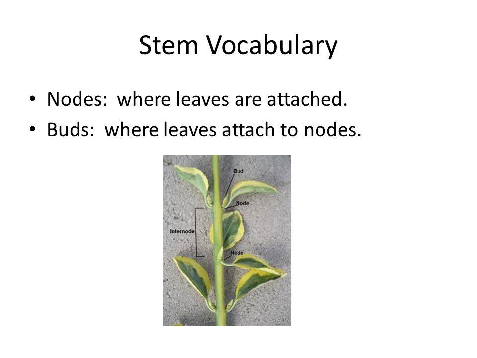 Stem Vocabulary Nodes: where leaves are attached. Buds: where leaves attach to nodes.