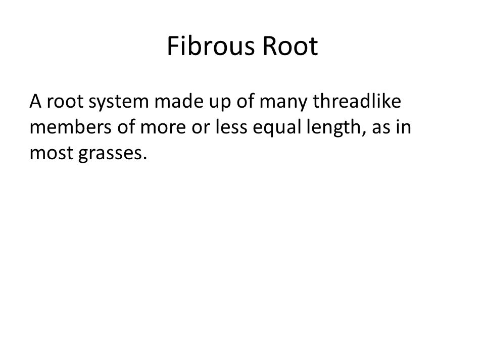 Fibrous Root A root system made up of many threadlike members of more or less equal length, as in most grasses.