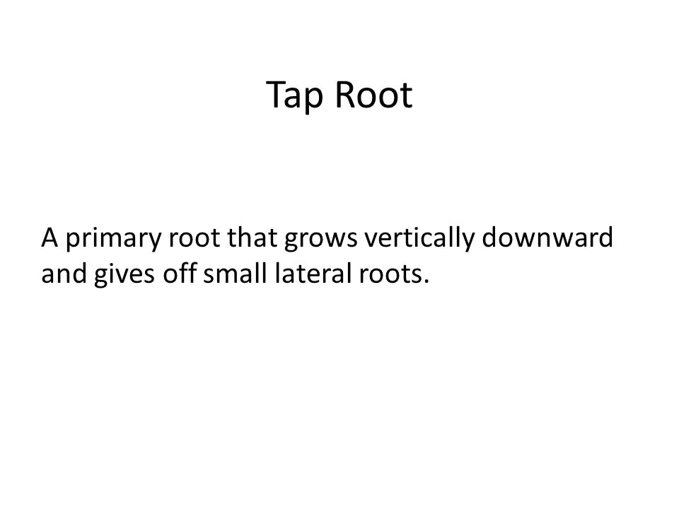 Tap Root A primary root that grows vertically downward and gives off small lateral roots.
