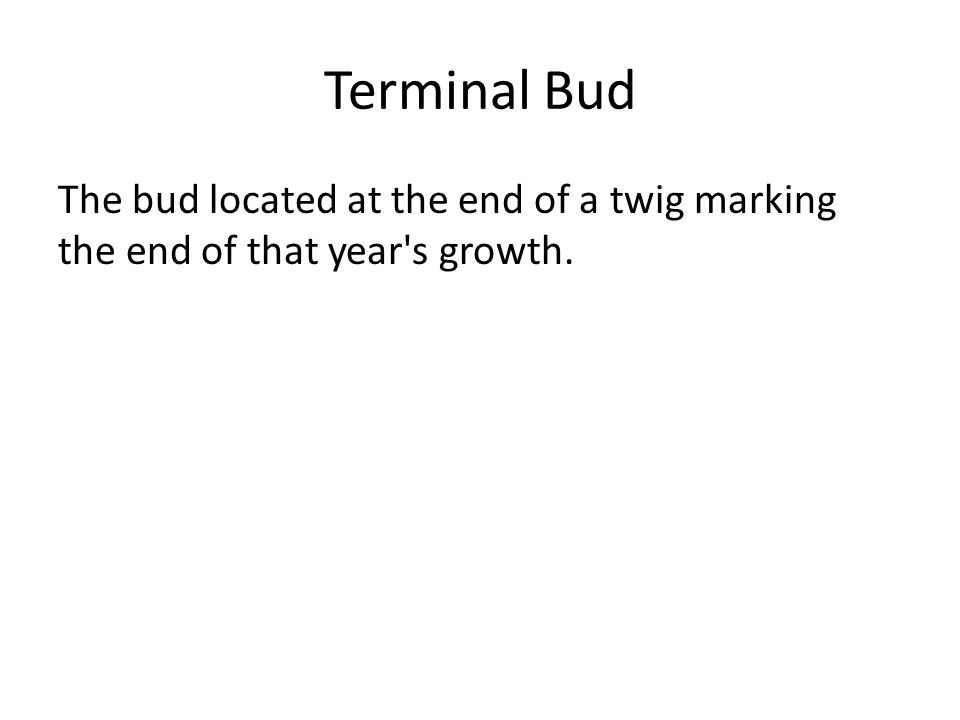 Terminal Bud The bud located at the end of a twig marking the end of that year s growth.