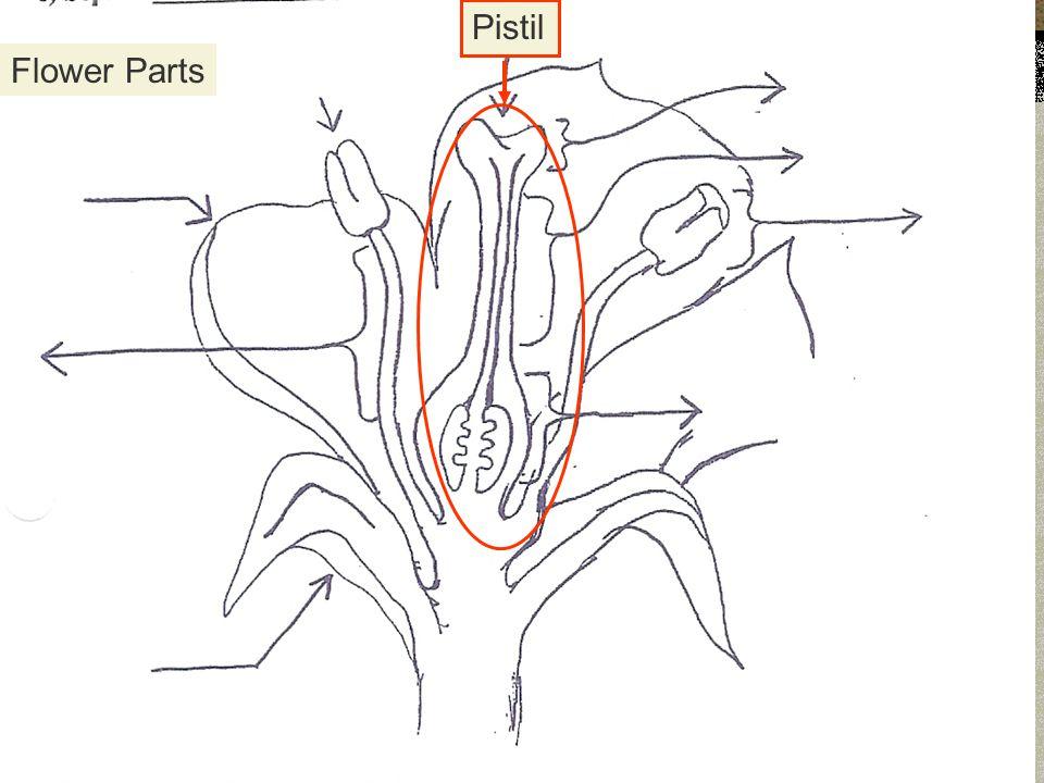 Flower Parts Pistil