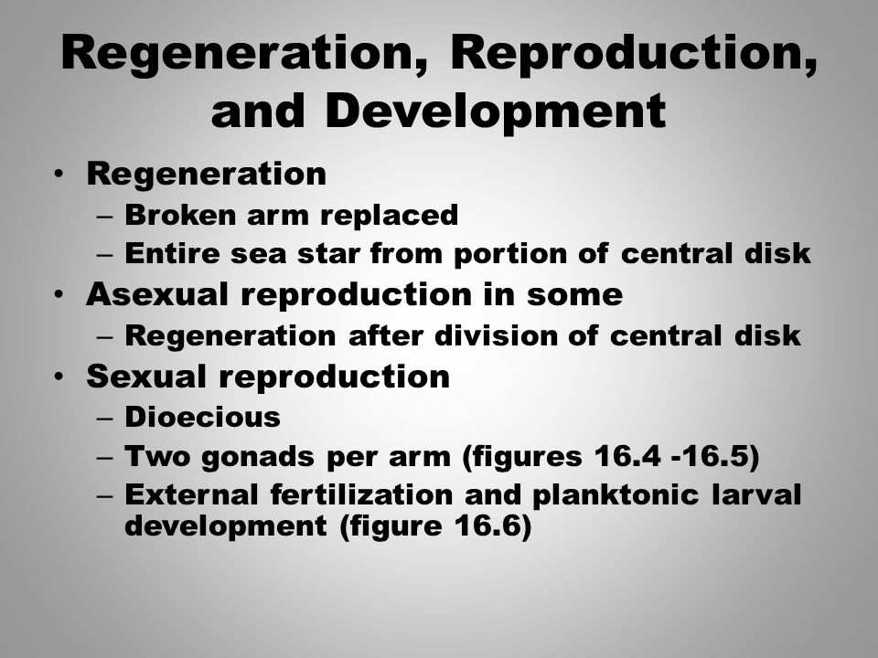 Regeneration, Reproduction, and Development Regeneration – Broken arm replaced – Entire sea star from portion of central disk Asexual reproduction in some – Regeneration after division of central disk Sexual reproduction – Dioecious – Two gonads per arm (figures 16.4 -16.5) – External fertilization and planktonic larval development (figure 16.6)