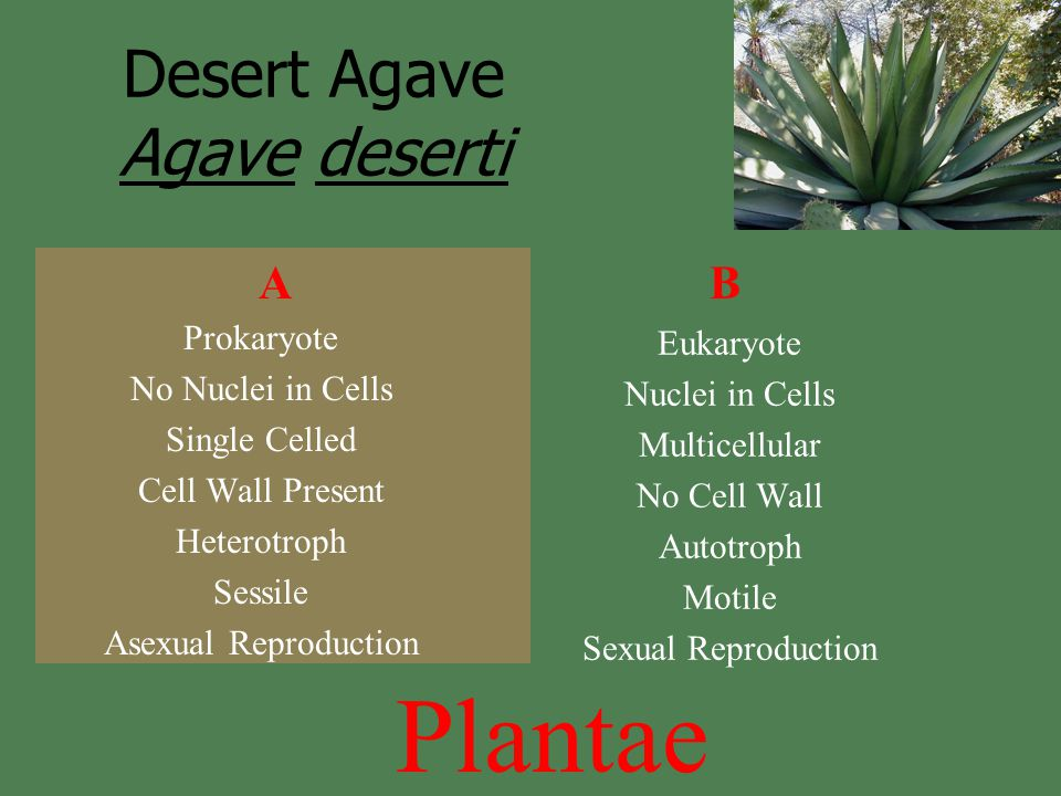 Prokaryote No Nuclei in Cells Single Celled Cell Wall Present Heterotroph Sessile Asexual Reproduction Eukaryote Nuclei in Cells Multicellular No Cell Wall Autotroph Motile Sexual Reproduction AB Plantae Desert Agave Agave deserti