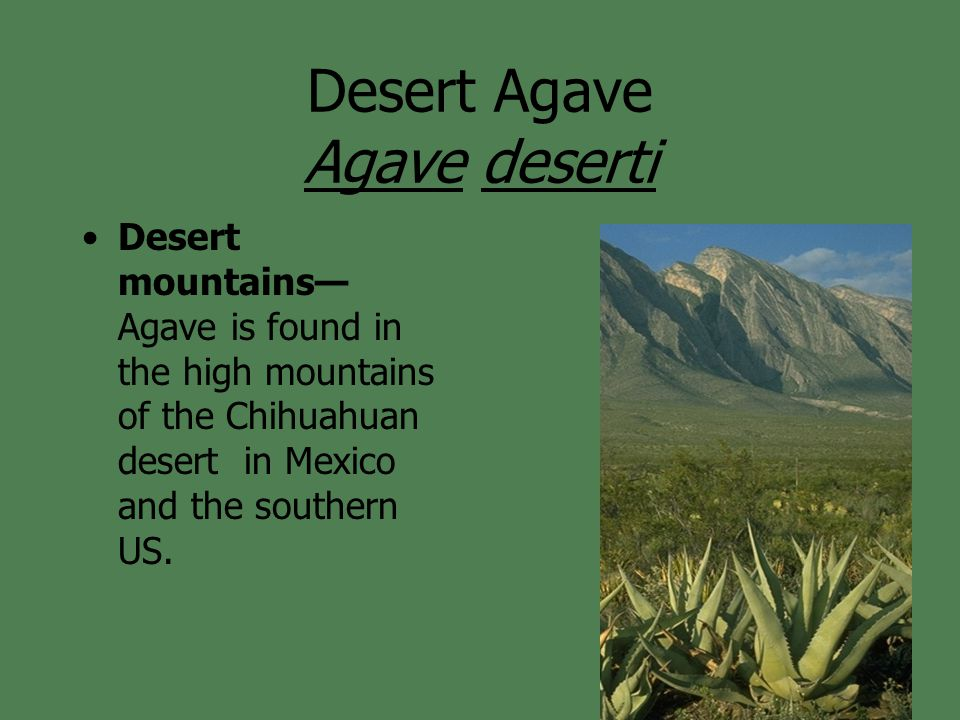 Desert mountains— Agave is found in the high mountains of the Chihuahuan desert in Mexico and the southern US.