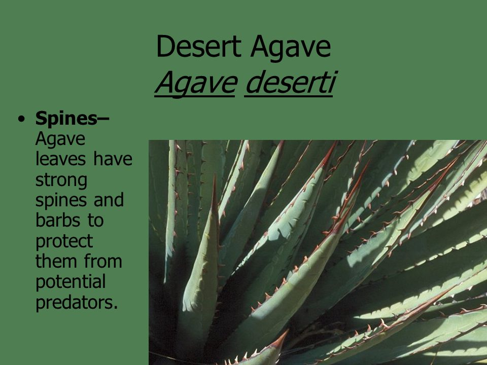 Desert Agave Agave deserti Flowers– Agave reproduce sexually using insect pollinators to carry their pollen from plant to plant.