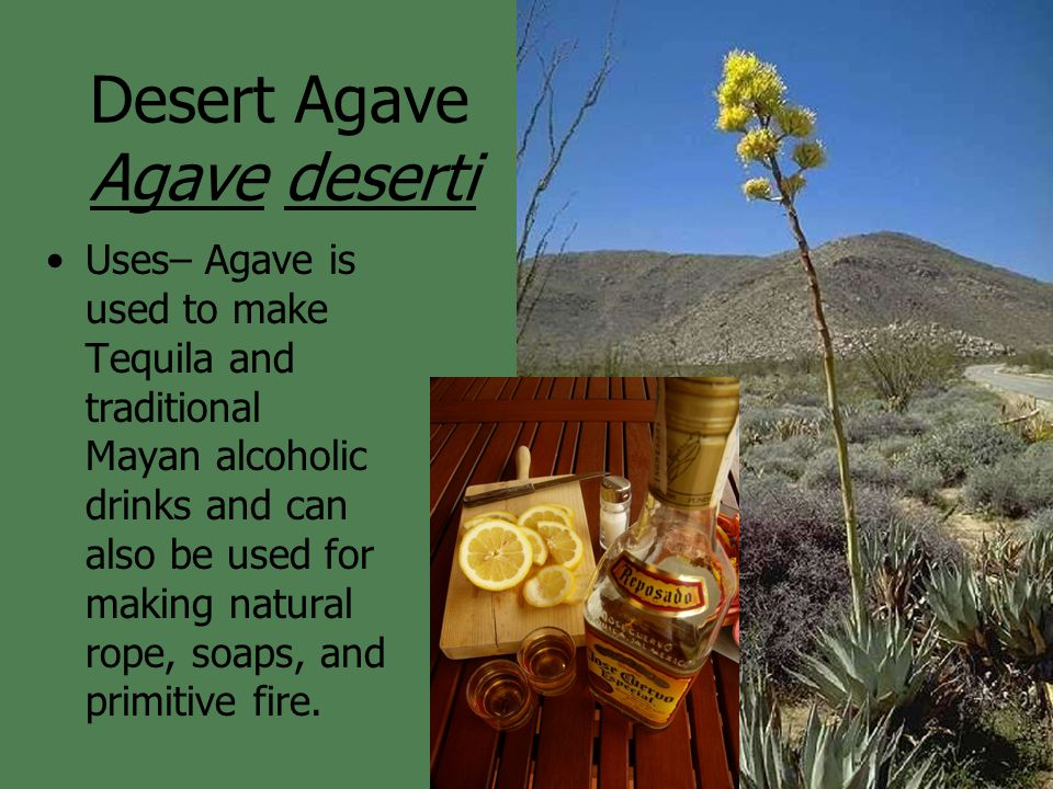 Desert Agave Agave deserti Uses– Agave is used to make Tequila and traditional Mayan alcoholic drinks and can also be used for making natural rope, soaps, and primitive fire.