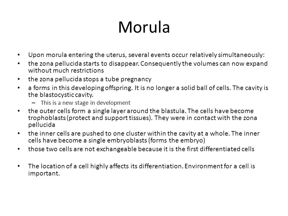 Morula Upon morula entering the uterus, several events occur relatively simultaneously: the zona pellucida starts to disappear. Consequently the volum