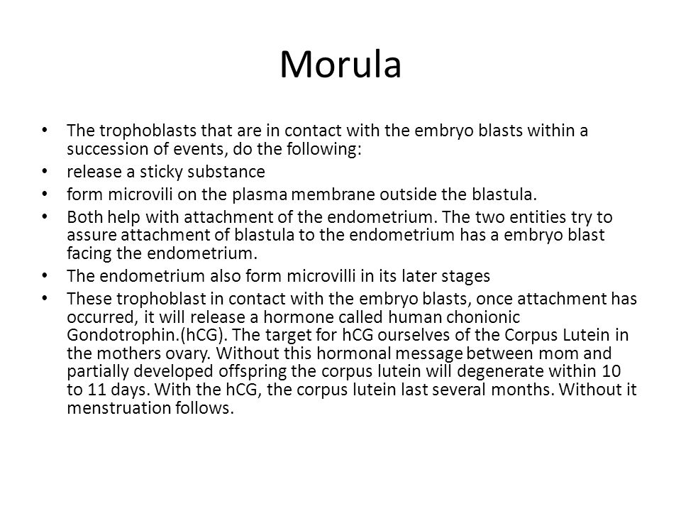 Morula The trophoblasts that are in contact with the embryo blasts within a succession of events, do the following: release a sticky substance form mi