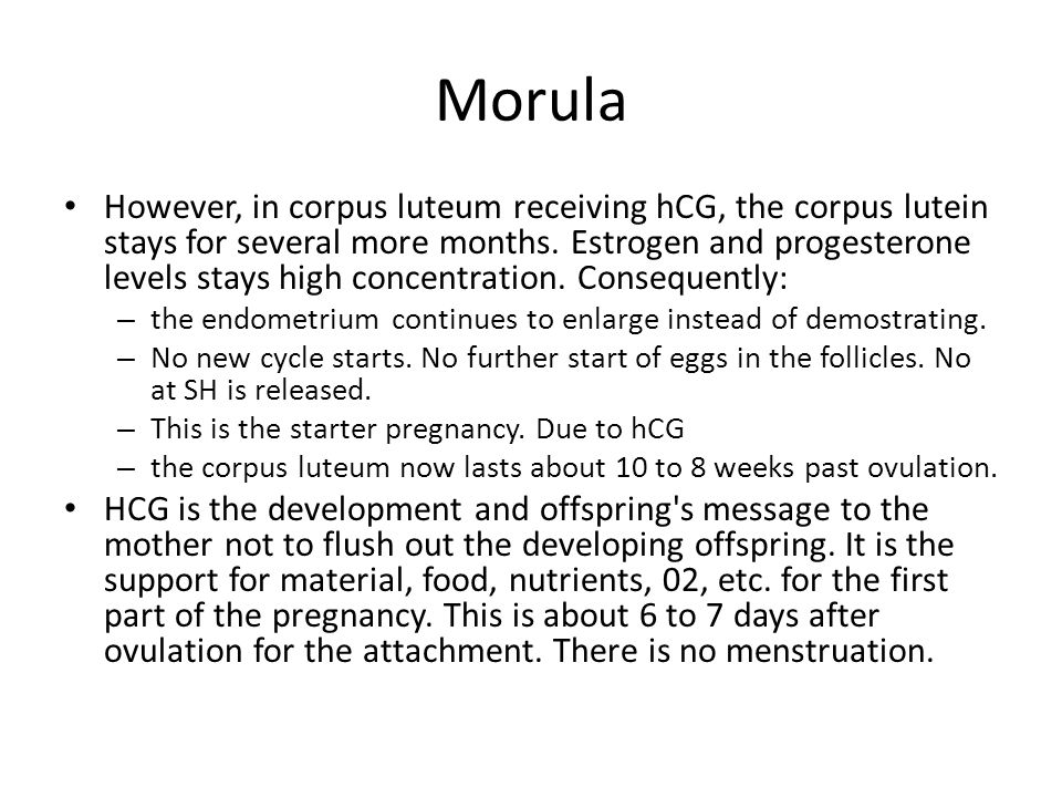 Morula However, in corpus luteum receiving hCG, the corpus lutein stays for several more months. Estrogen and progesterone levels stays high concentra