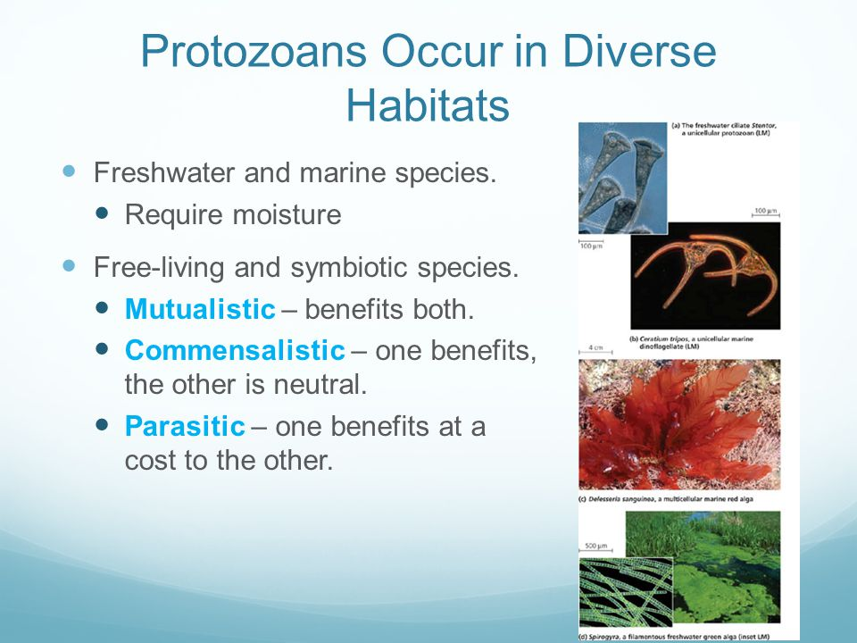 Protozoans Occur in Diverse Habitats Freshwater and marine species. Require moisture Free-living and symbiotic species. Mutualistic – benefits both. C