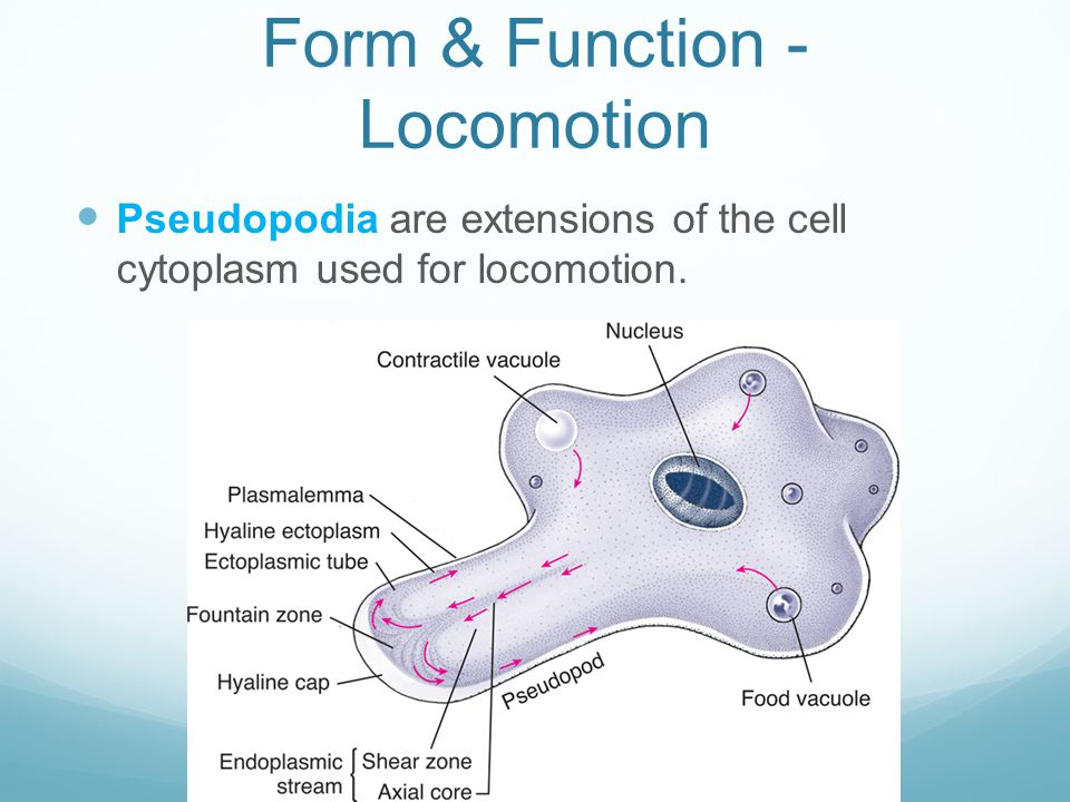 Form & Function - Locomotion Pseudopodia are extensions of the cell cytoplasm used for locomotion.
