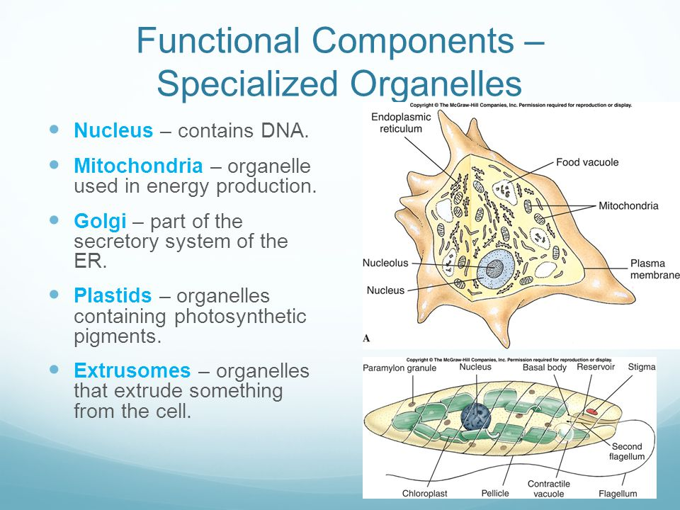 Functional Components – Specialized Organelles Nucleus – contains DNA. Mitochondria – organelle used in energy production. Golgi – part of the secreto