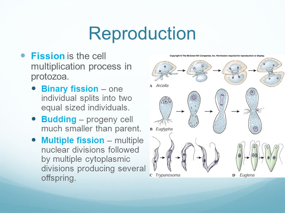 Reproduction Fission is the cell multiplication process in protozoa. Binary fission – one individual splits into two equal sized individuals. Budding