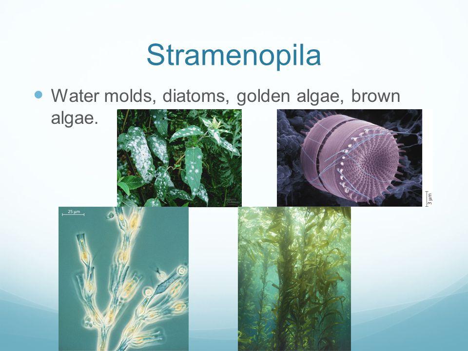 Stramenopila Water molds, diatoms, golden algae, brown algae.