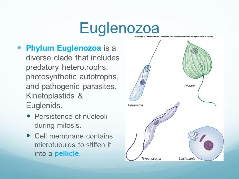 Euglenozoa Phylum Euglenozoa is a diverse clade that includes predatory heterotrophs, photosynthetic autotrophs, and pathogenic parasites. Kinetoplast