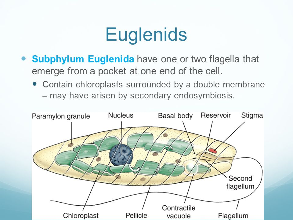 Euglenids Subphylum Euglenida have one or two flagella that emerge from a pocket at one end of the cell. Contain chloroplasts surrounded by a double m