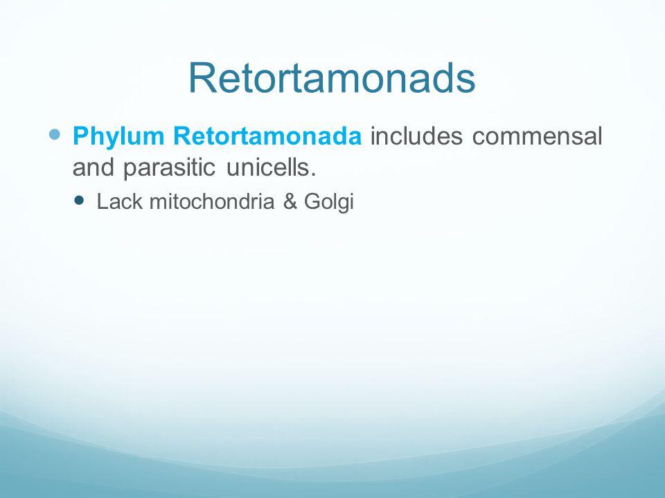 Retortamonads Phylum Retortamonada includes commensal and parasitic unicells. Lack mitochondria & Golgi