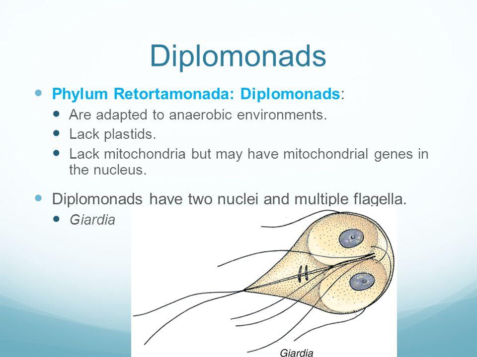 Diplomonads Phylum Retortamonada: Diplomonads: Are adapted to anaerobic environments. Lack plastids. Lack mitochondria but may have mitochondrial gene