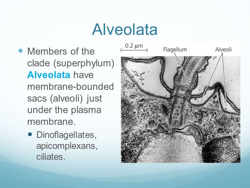Alveolata Members of the clade (superphylum) Alveolata have membrane-bounded sacs (alveoli) just under the plasma membrane. Dinoflagellates, apicomple