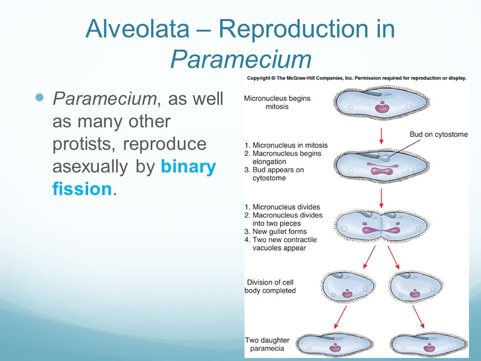 Alveolata – Reproduction in Paramecium Paramecium, as well as many other protists, reproduce asexually by binary fission.