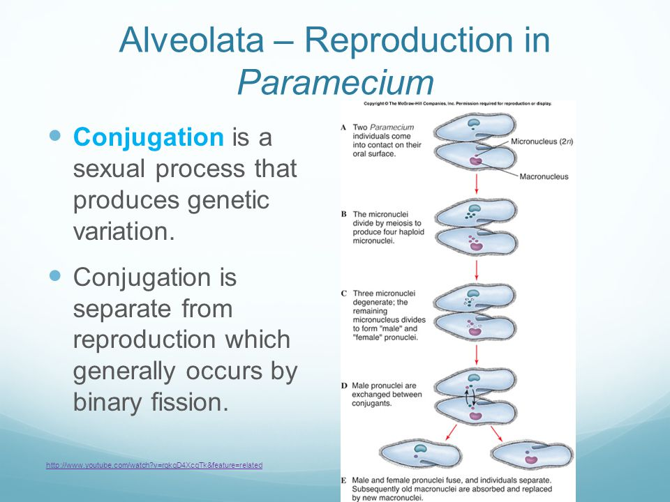 Alveolata – Reproduction in Paramecium Conjugation is a sexual process that produces genetic variation. Conjugation is separate from reproduction whic