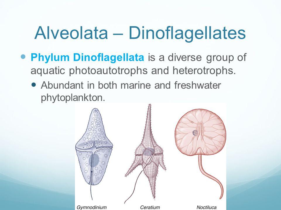 Alveolata – Dinoflagellates Phylum Dinoflagellata is a diverse group of aquatic photoautotrophs and heterotrophs. Abundant in both marine and freshwat