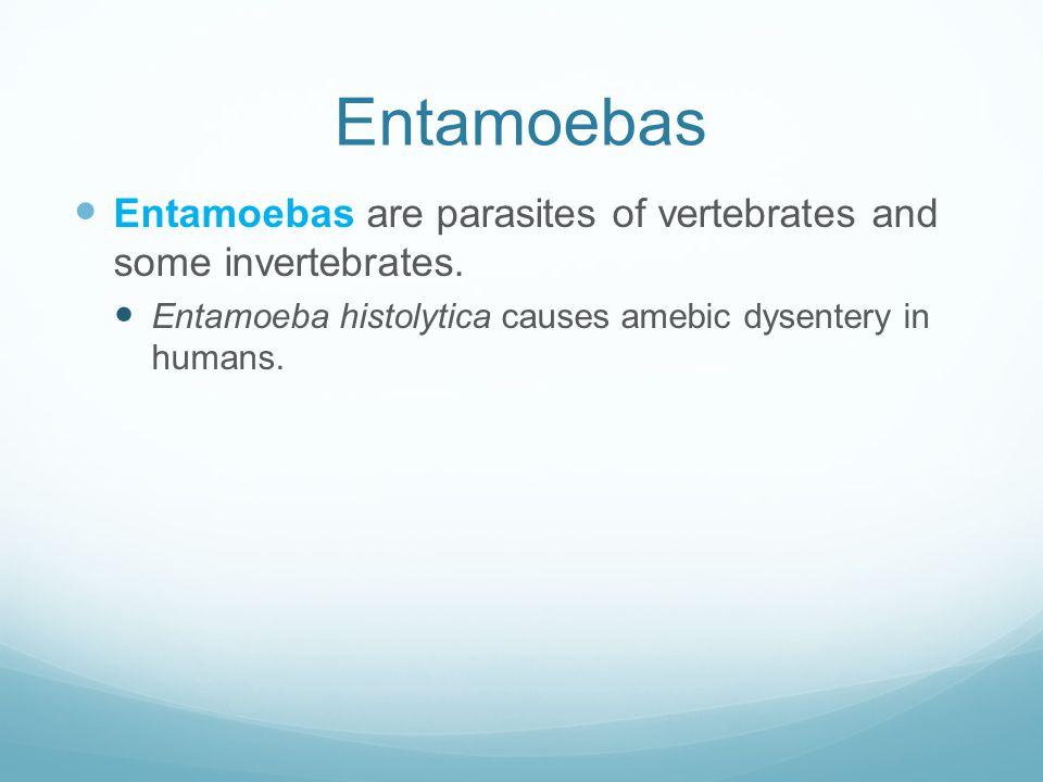 Entamoebas Entamoebas are parasites of vertebrates and some invertebrates. Entamoeba histolytica causes amebic dysentery in humans.