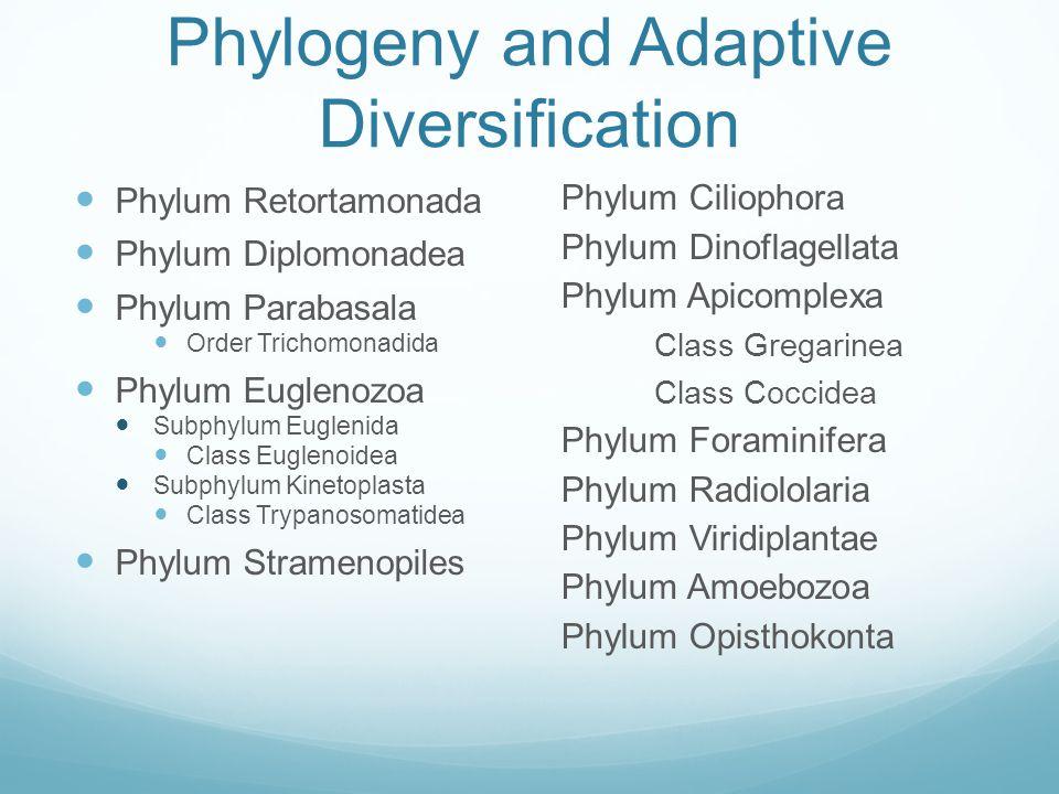 Phylogeny and Adaptive Diversification Phylum Retortamonada Phylum Diplomonadea Phylum Parabasala Order Trichomonadida Phylum Euglenozoa Subphylum Eug