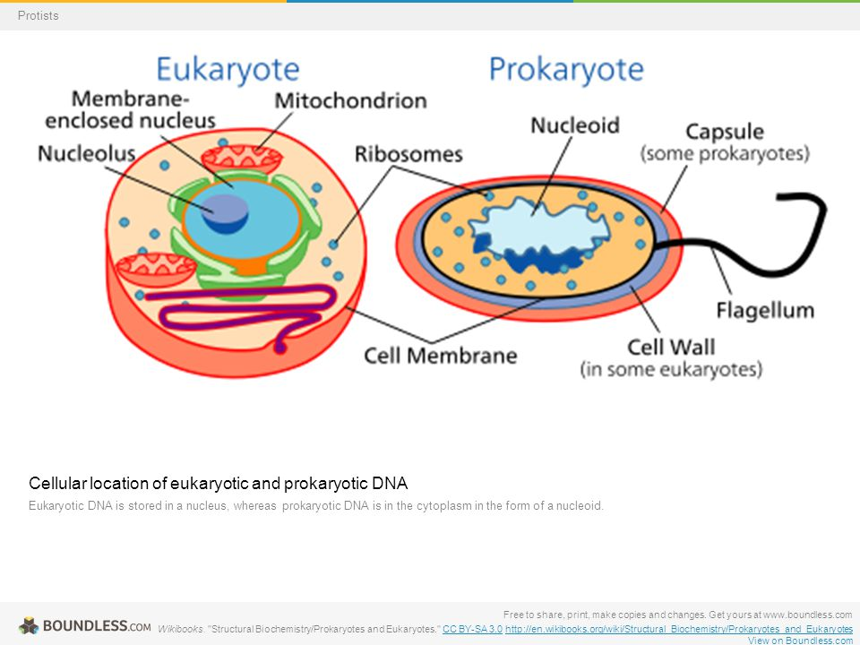 Cellular location of eukaryotic and prokaryotic DNA Eukaryotic DNA is stored in a nucleus, whereas prokaryotic DNA is in the cytoplasm in the form of a nucleoid.