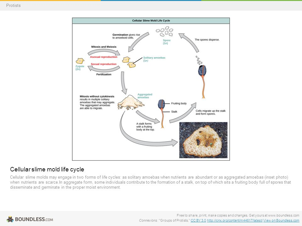 Cellular slime mold life cycle Cellular slime molds may engage in two forms of life cycles: as solitary amoebas when nutrients are abundant or as aggr