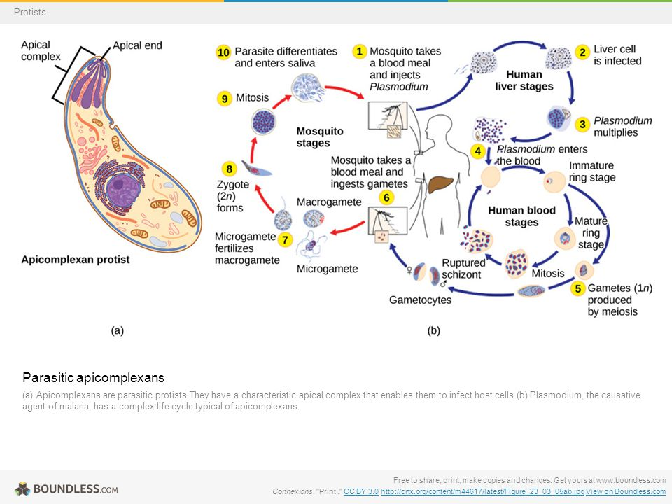 Parasitic apicomplexans (a) Apicomplexans are parasitic protists.They have a characteristic apical complex that enables them to infect host cells.(b)