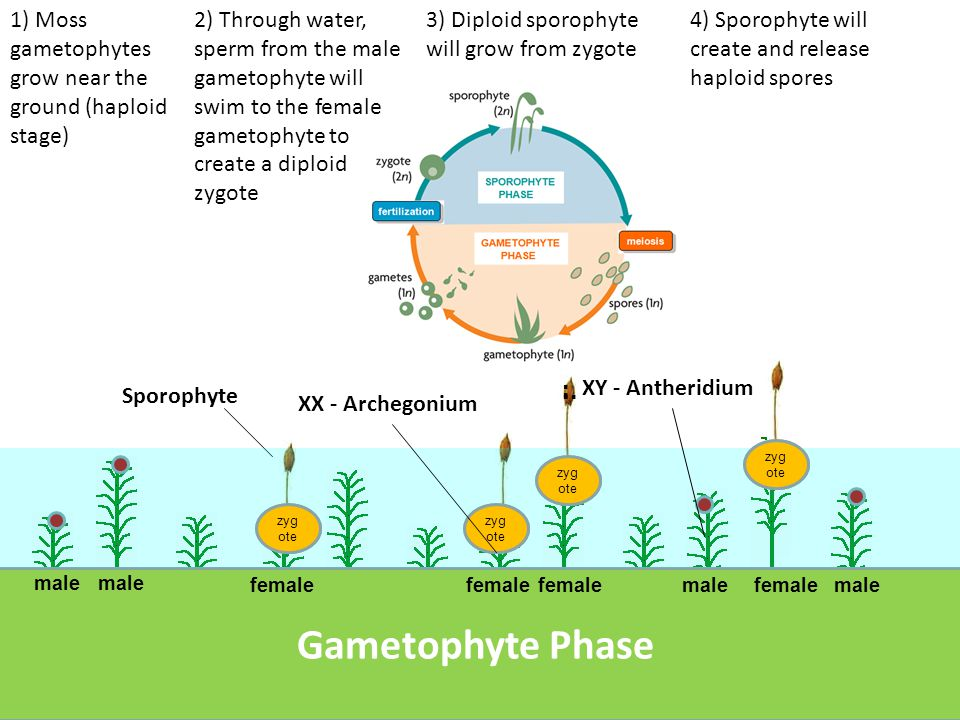 5) Haploid spores land and grow into new gametophytes.....