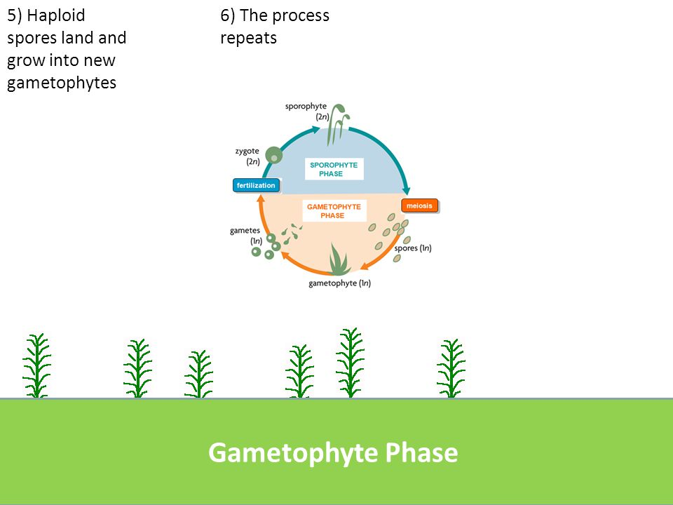 Plant Life Cycle Comparisons Plant typeSporophyteGametophyteDominant Phase.
