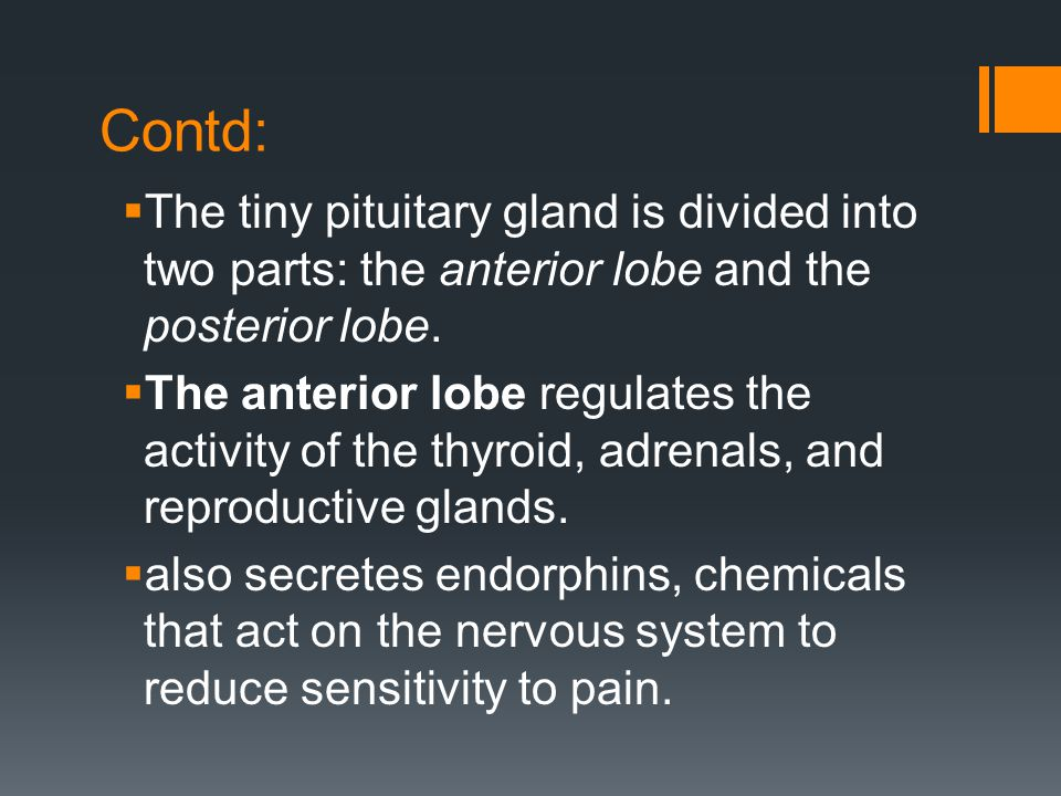 Contd:  The tiny pituitary gland is divided into two parts: the anterior lobe and the posterior lobe.  The anterior lobe regulates the activity of t