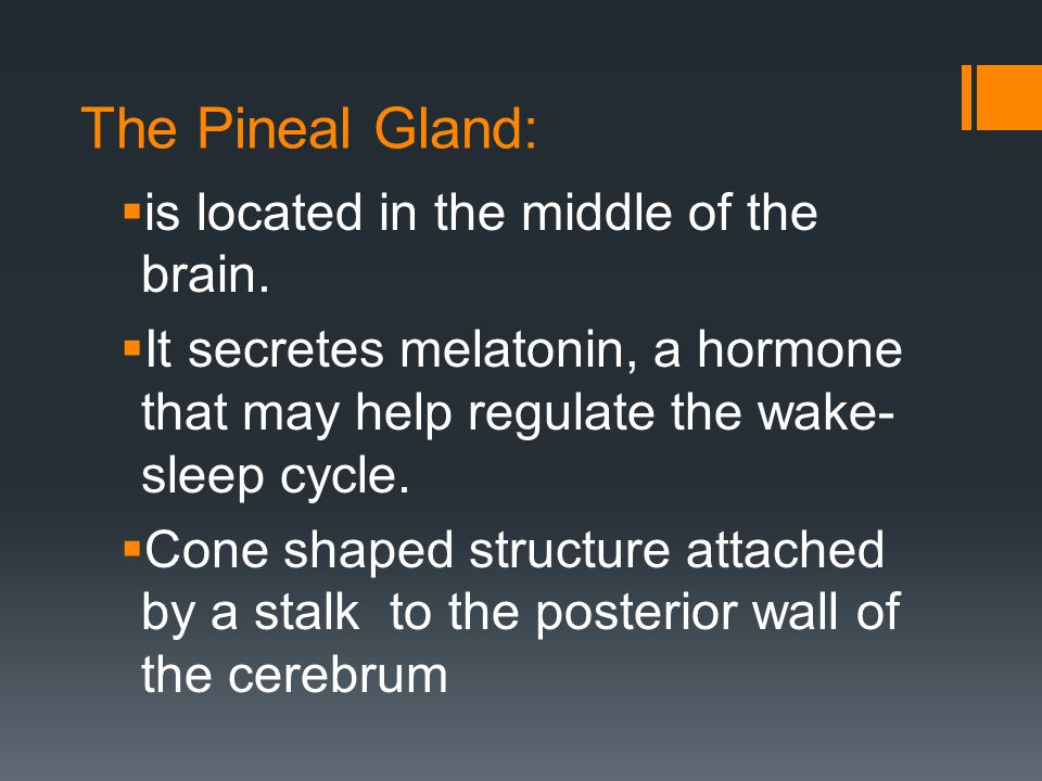 The Pineal Gland:  is located in the middle of the brain.  It secretes melatonin, a hormone that may help regulate the wake- sleep cycle.  Cone sha
