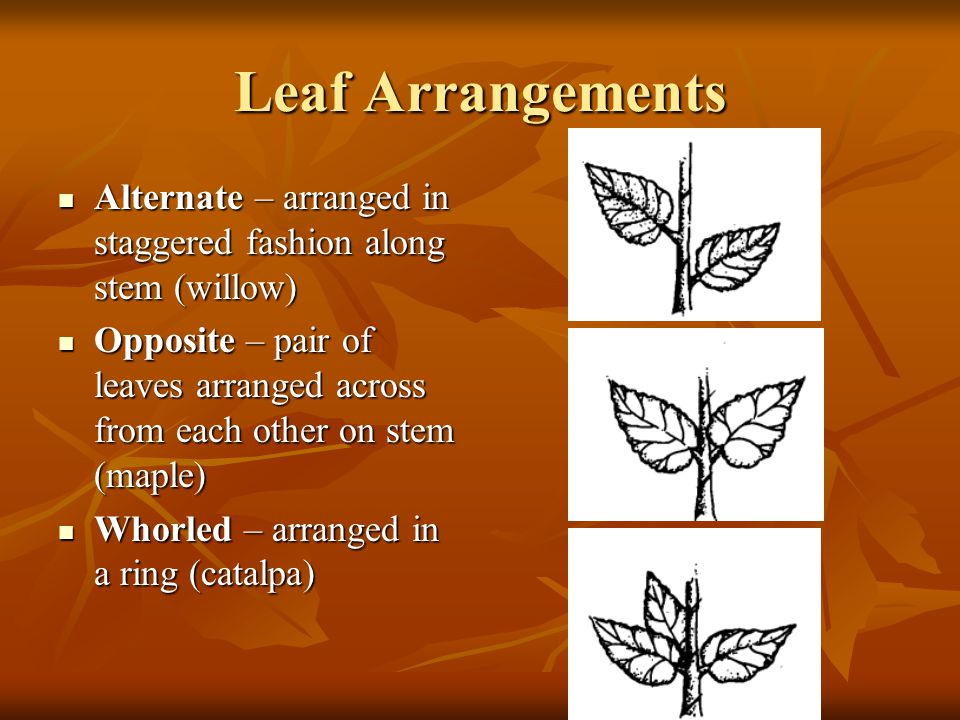 Leaf Arrangements Alternate – arranged in staggered fashion along stem (willow) Alternate – arranged in staggered fashion along stem (willow) Opposite – pair of leaves arranged across from each other on stem (maple) Opposite – pair of leaves arranged across from each other on stem (maple) Whorled – arranged in a ring (catalpa) Whorled – arranged in a ring (catalpa)