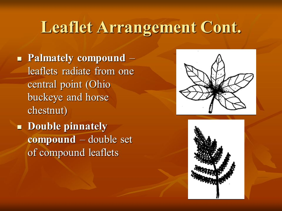 Leaflet Arrangement Cont. Palmately compound – leaflets radiate from one central point (Ohio buckeye and horse chestnut) Palmately compound – leaflets
