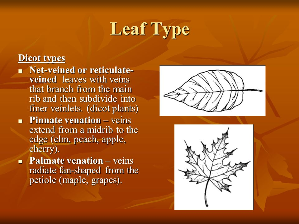 Leaf Type Dicot types Net-veined or reticulate- veined leaves with veins that branch from the main rib and then subdivide into finer veinlets.