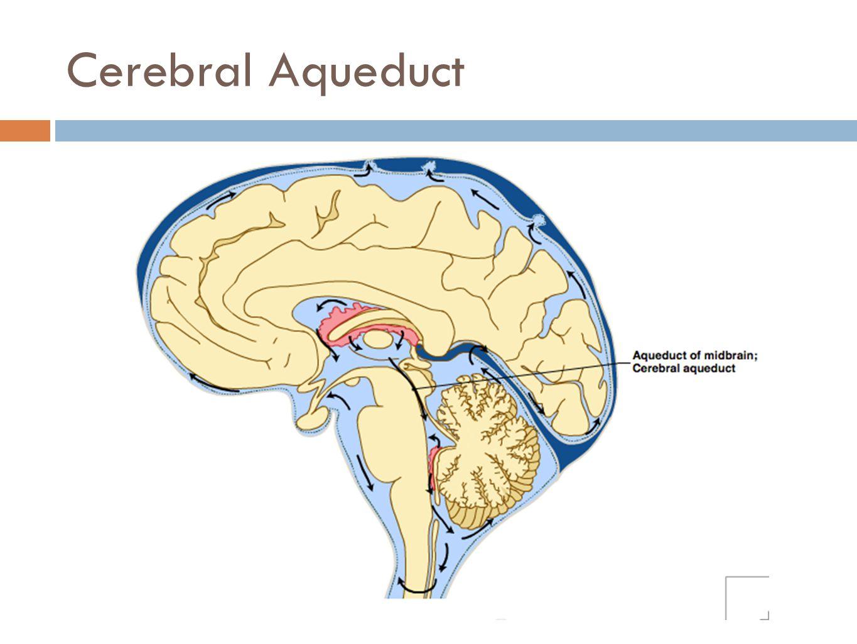 Cerebral Aqueduct