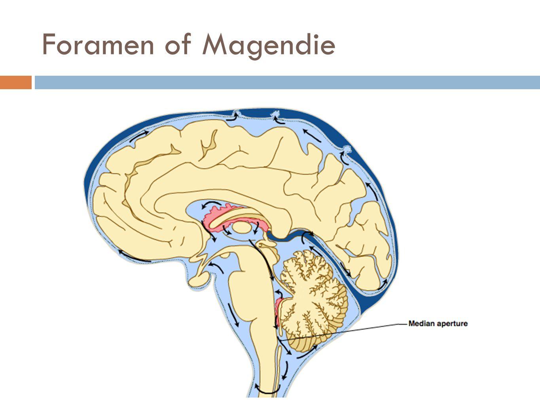 Foramen of Magendie