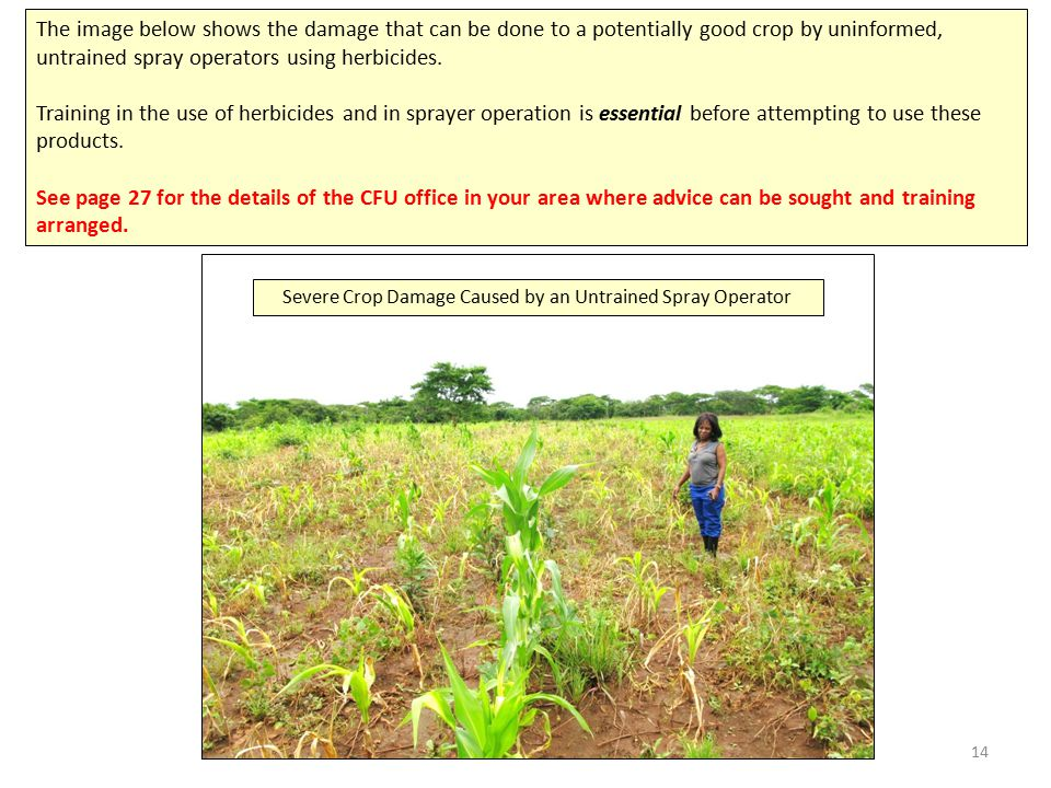 14 The image below shows the damage that can be done to a potentially good crop by uninformed, untrained spray operators using herbicides.