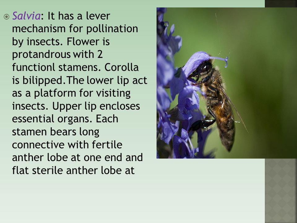  Salvia: It has a lever mechanism for pollination by insects.