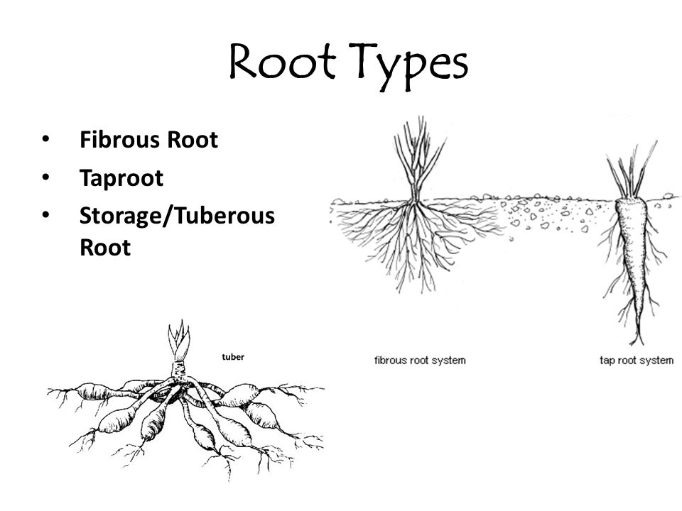 Root Types Fibrous Root Taproot Storage/Tuberous Root