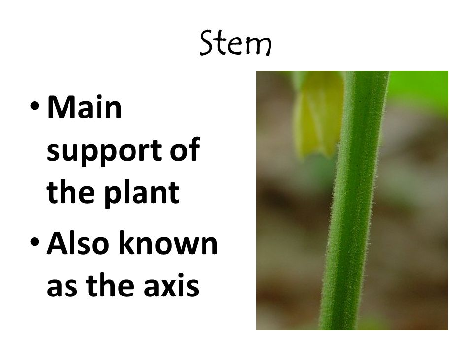 Stem Main support of the plant Also known as the axis